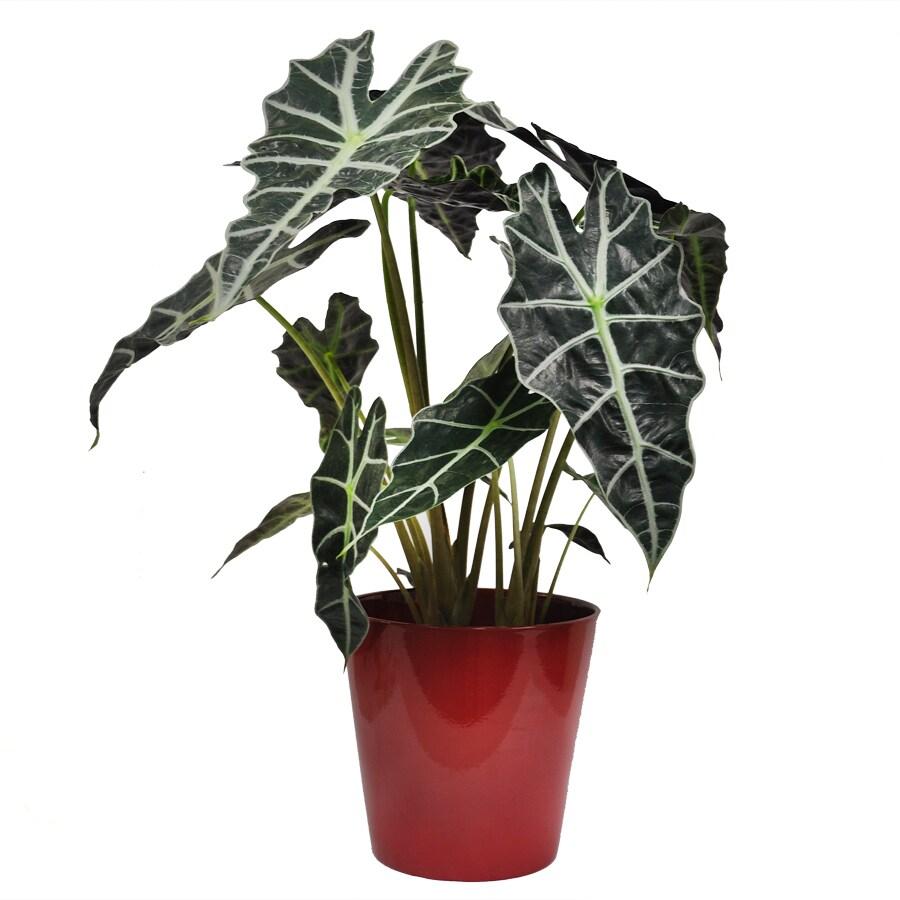 Exotic Angel Plants Alocasia in 1.45 Quart Ceramic Tabletop Planter