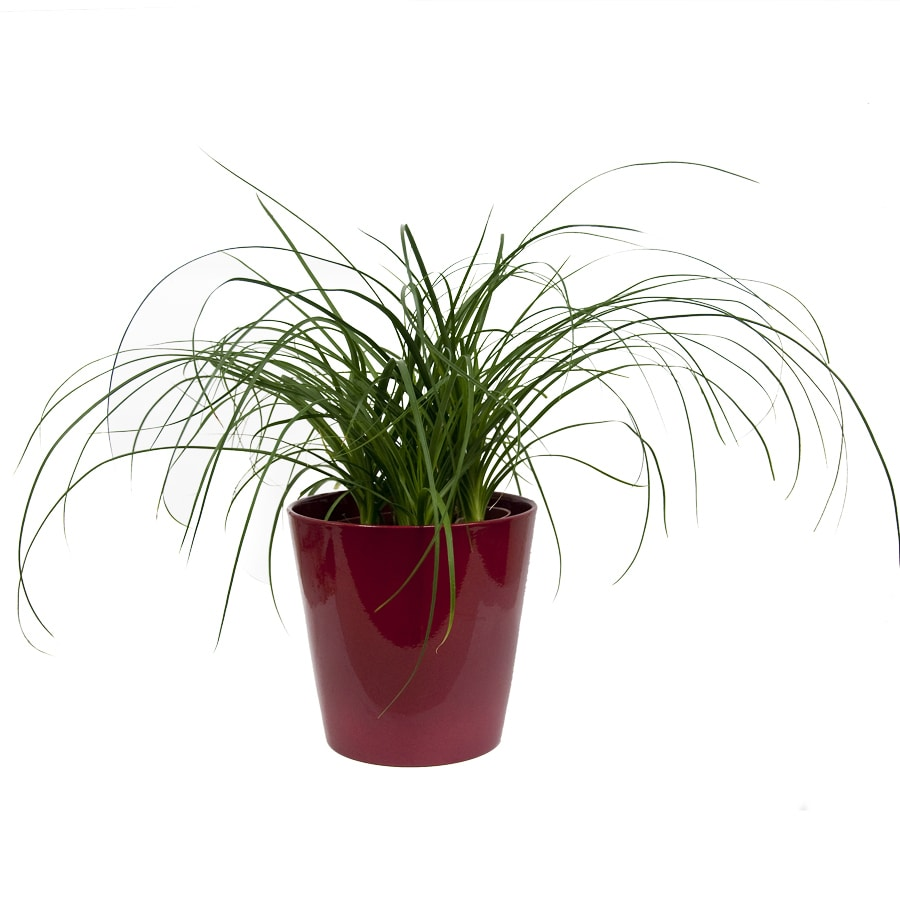 Exotic Angel Plants Pony Tail Palm in 1.45 Quart Ceramic Tabletop Planter