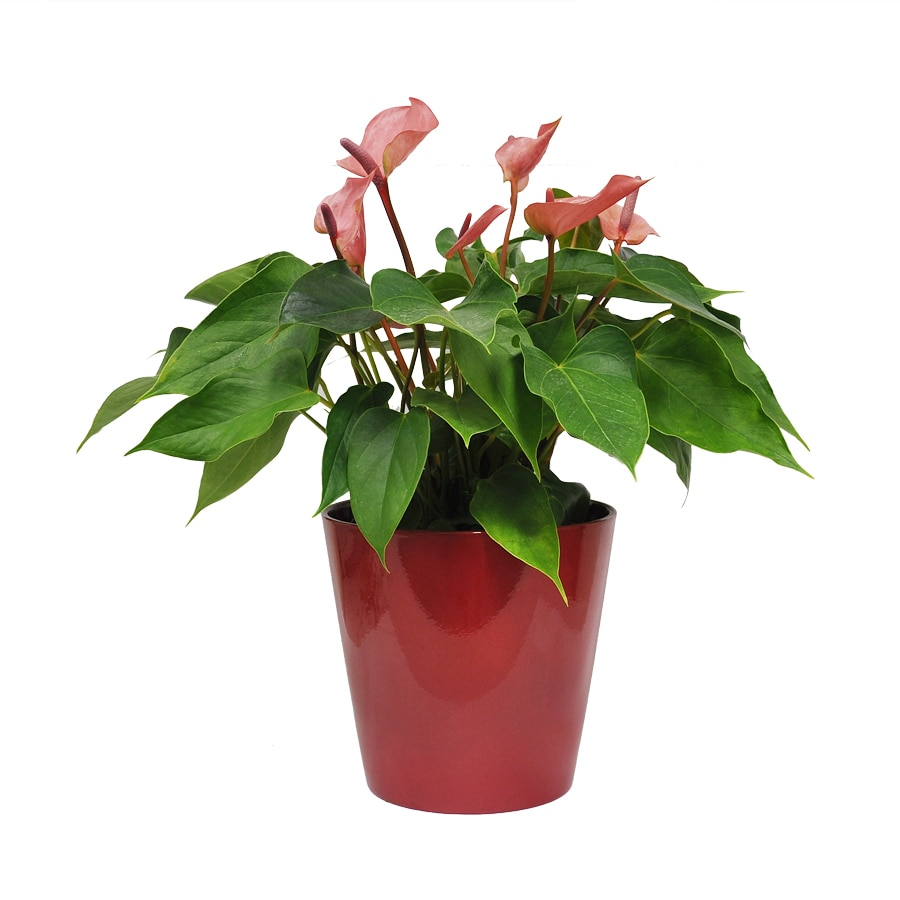 Exotic Angel Plants Anthurium in 1.45 Quart Ceramic Tabletop Planter