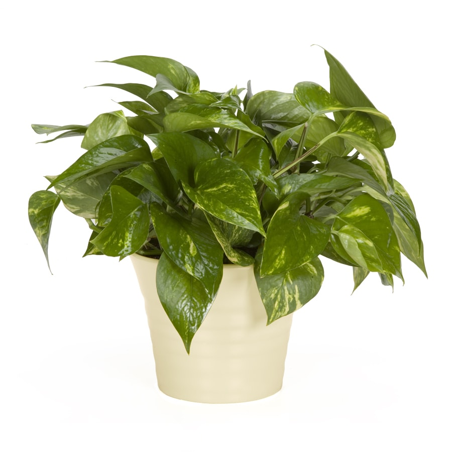 Exotic Angel Plants Pothos Golden in 1.45 Quart Ceramic Tabletop Planter