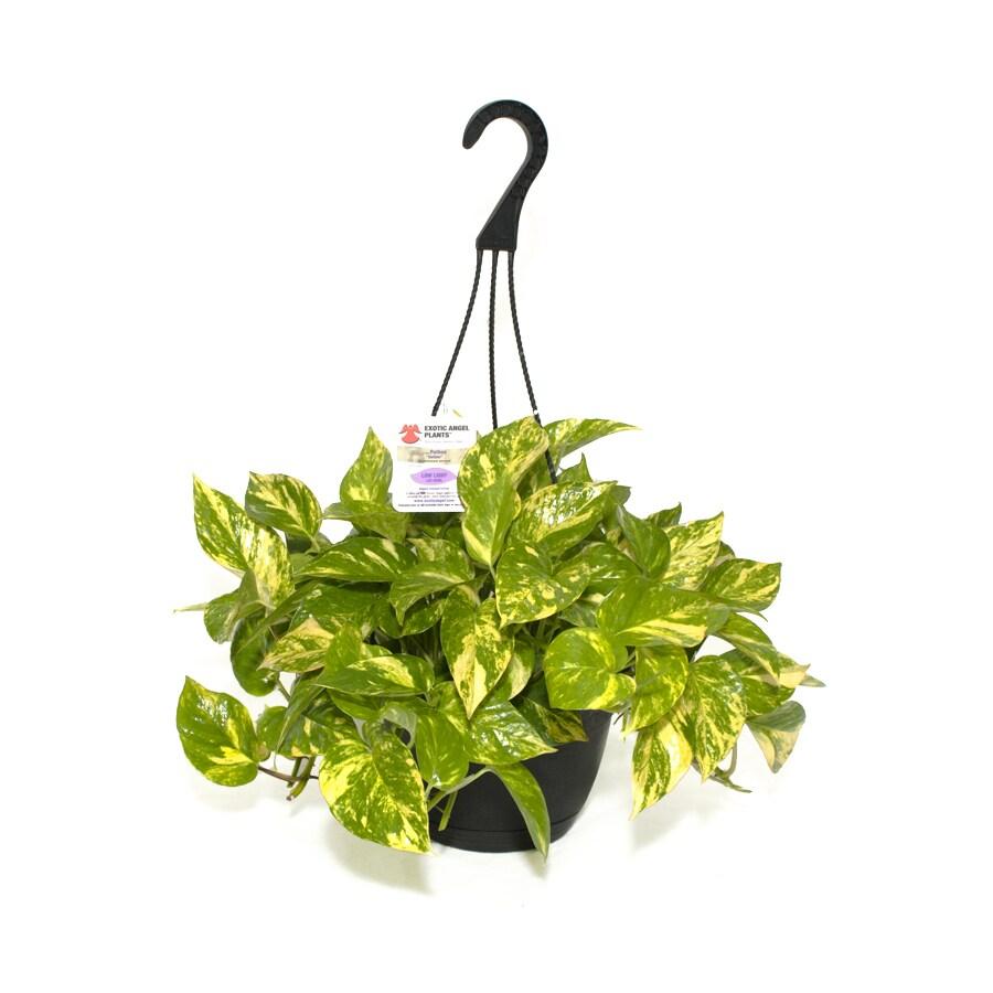Exotic Angel Plants Pothos Golden in 3.0 Quart Hanging Basket