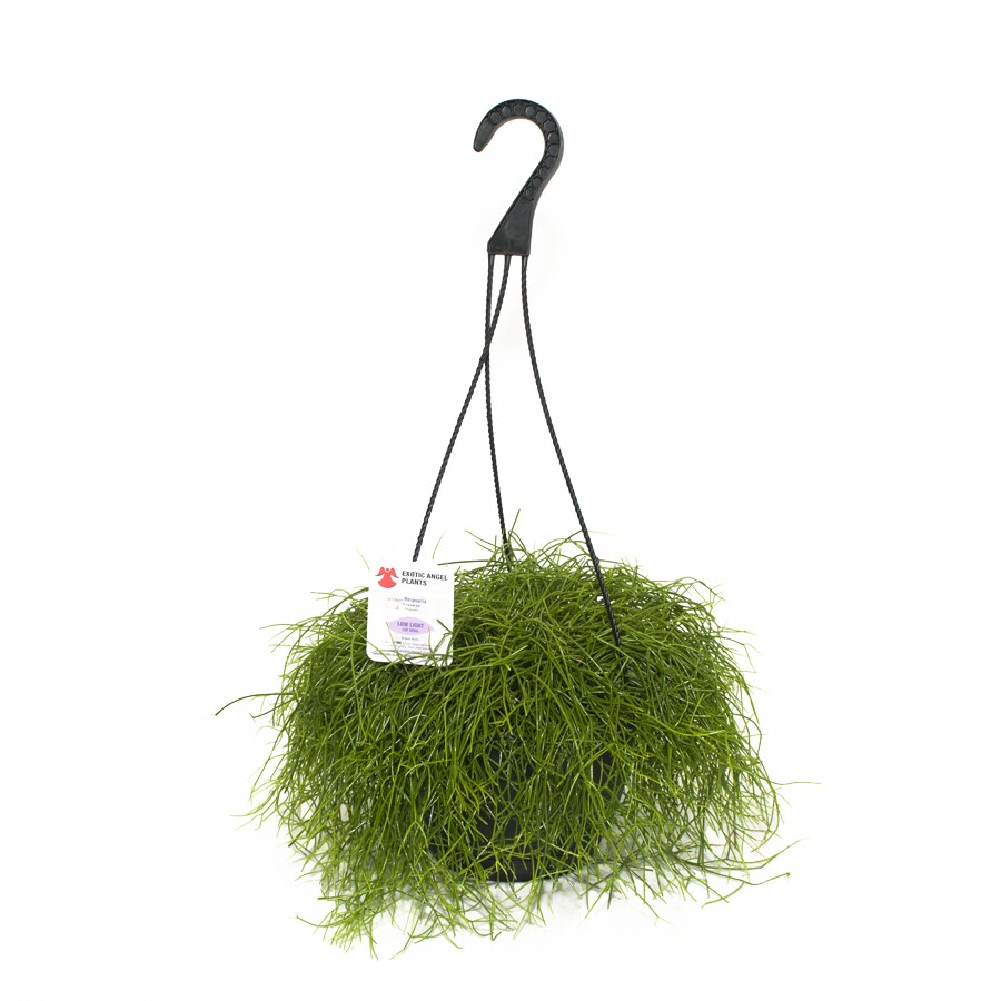 Exotic Angel Plants Rhipsalis Trailing in 3.0 Quart Hanging Basket