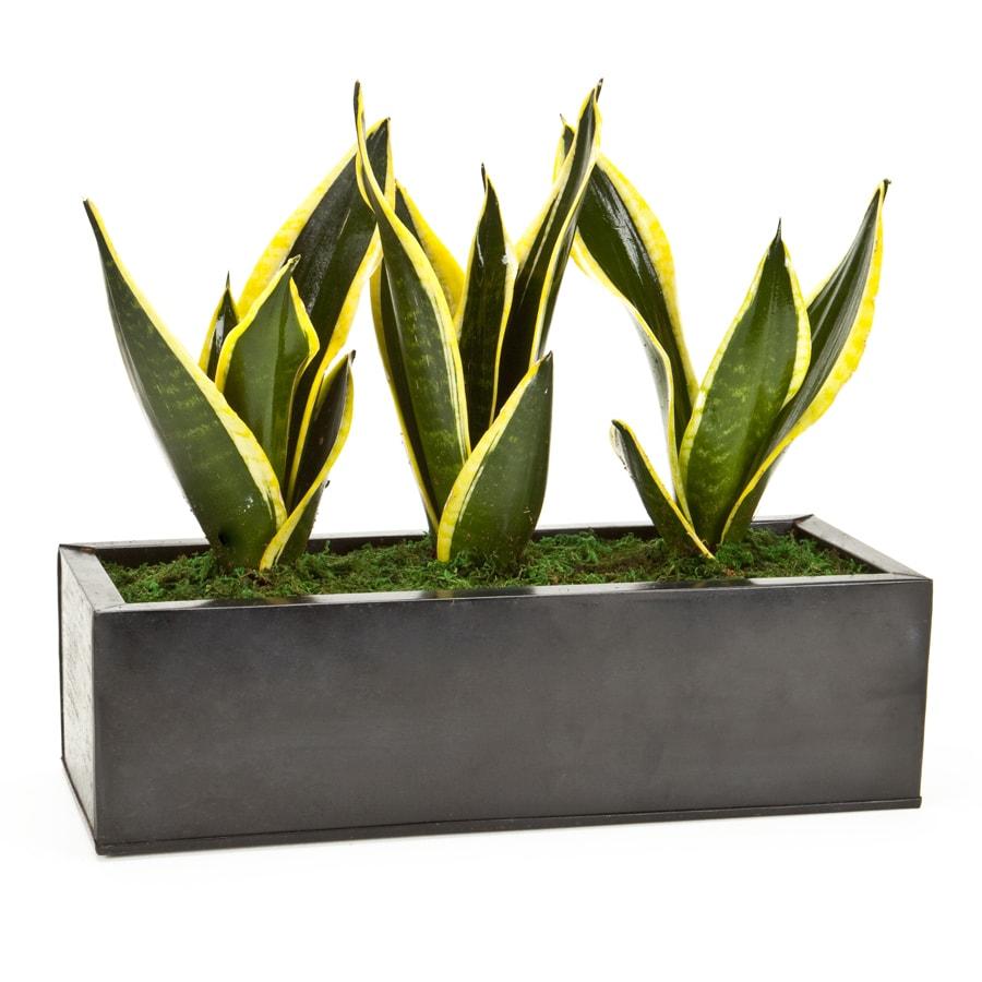 Exotic Angel Plants Sansevieria in 6.88 Quart Metal Tabletop Planter