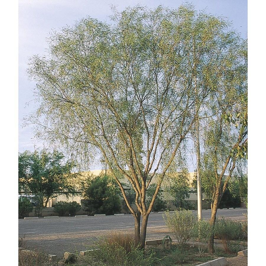 108.34-Gallon Willow Acacia Feature Tree (L7642)