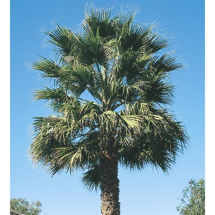 108.34 Gallon California Fan Palm (L7197)