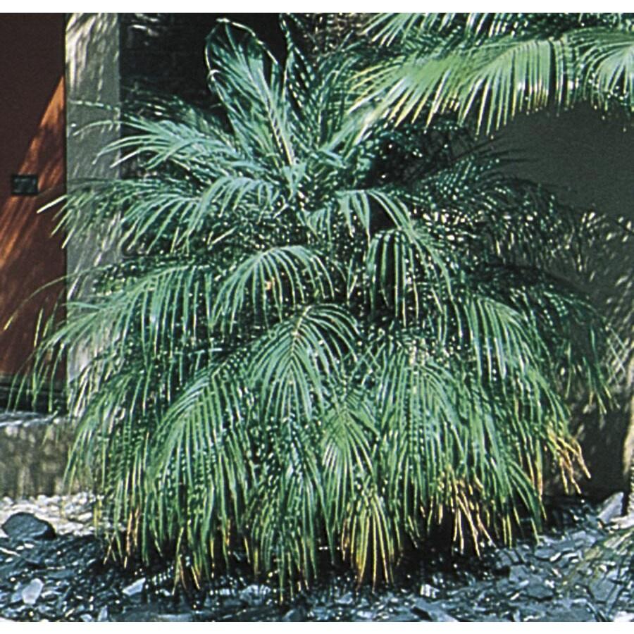 108.34 Gallon Pygmy Date Palm (L7542)