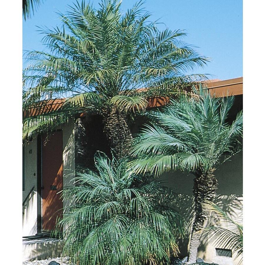 28.5-Gallon Pygmy Date Palm (L7542)