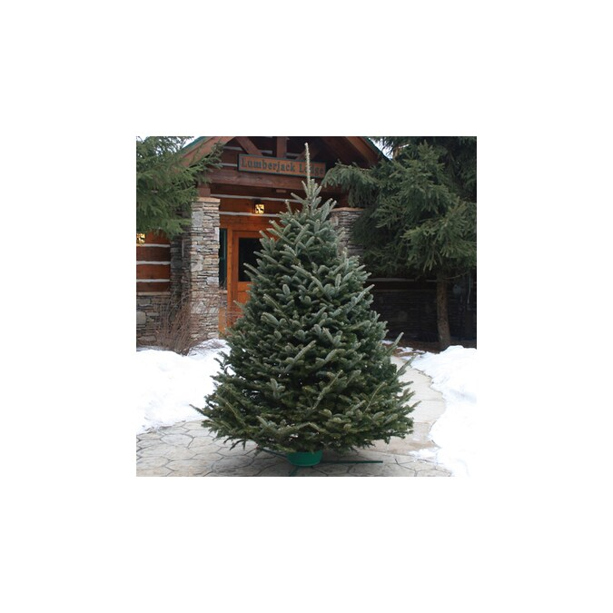 9-10 ft Fraser Fir Real Christmas Tree in the Fresh Christmas Trees department at Lowes.com