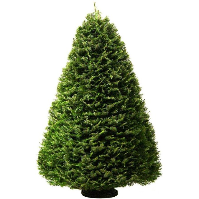 6-7 ft Grand Fir Real Christmas Tree in the Fresh Christmas Trees department at Lowes.com