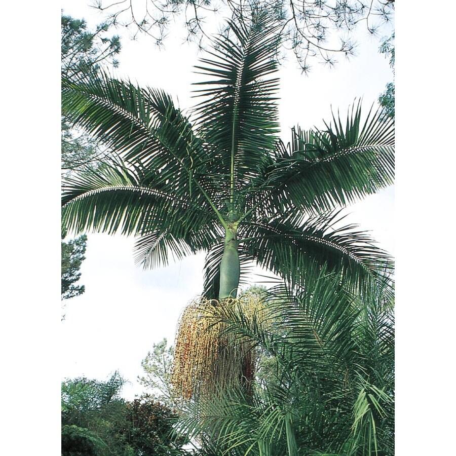 King Palm (L6257)
