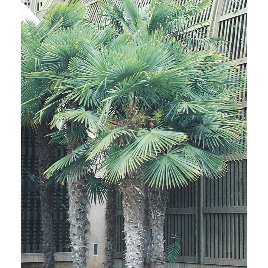 27.5-Gallon Chinese Windmill Palm (L8803)
