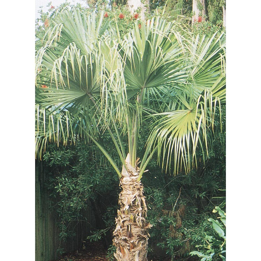 10.25-Gallon Chinese Fan Palm Feature Tree (L0065)