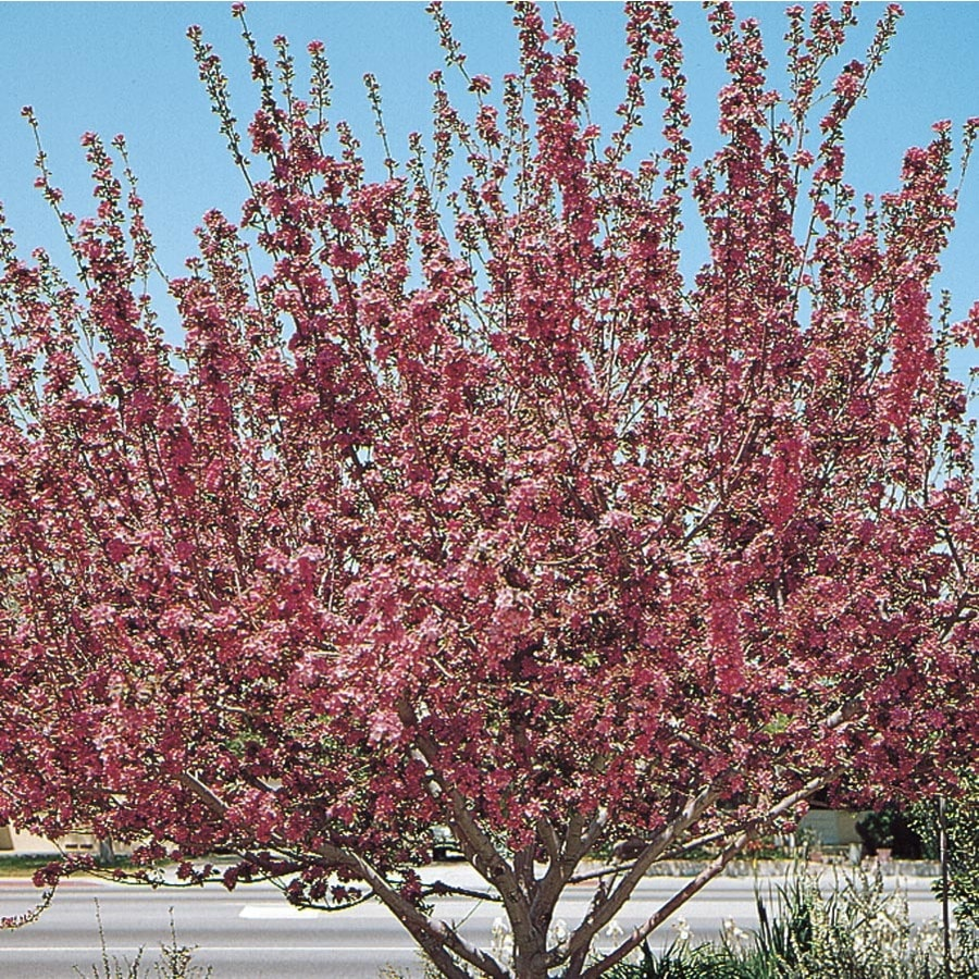 5.5-Gallon Radiant Crabapple Flowering Tree (L3584)
