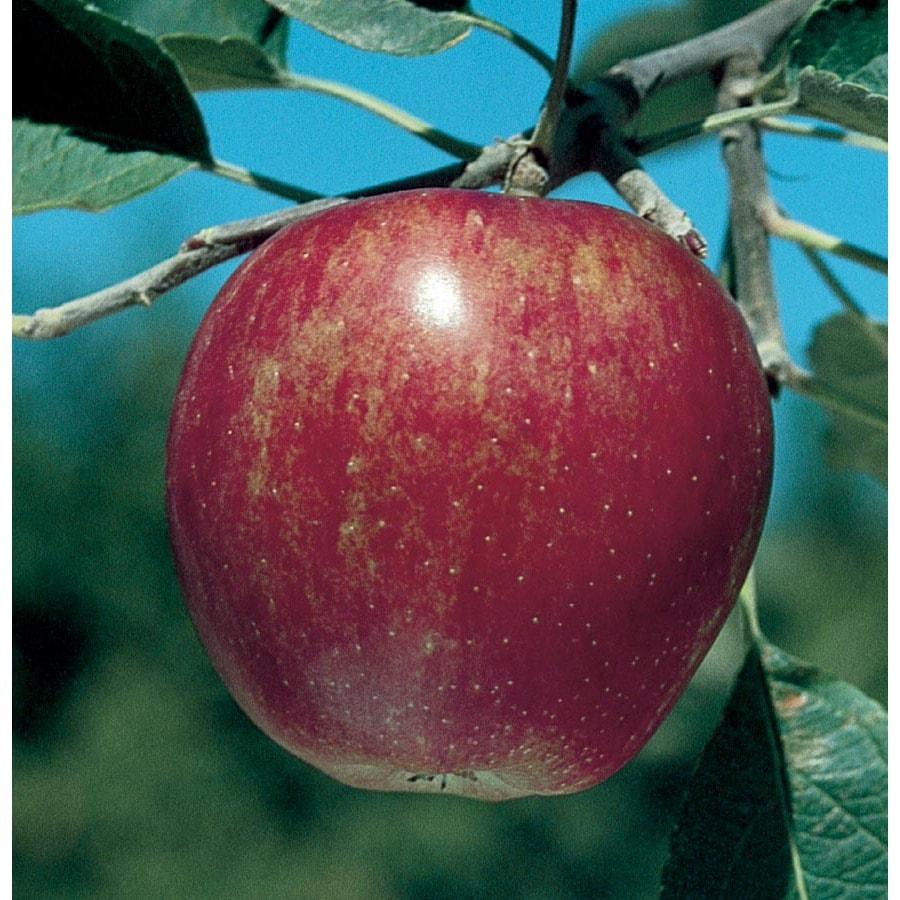 3.25-Gallon Stayman Winesap Semi-Dwarf Apple Tree (L6892)