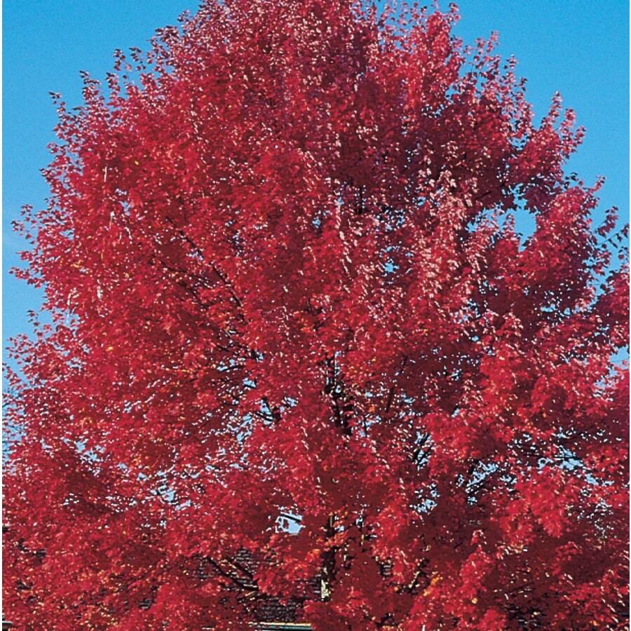 7-Gallon Sun Valley Red Maple Shade Tree (L2080)