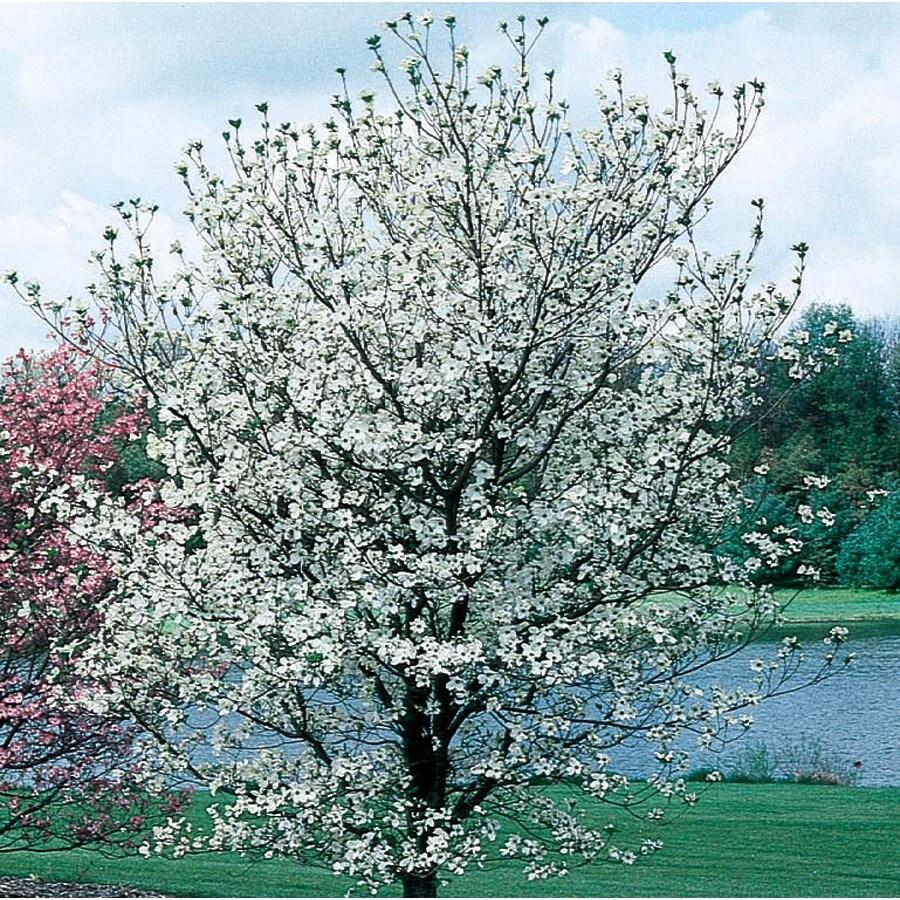13.66-Gallon Cherokee Princess Dogwood Flowering Tree (L7329)