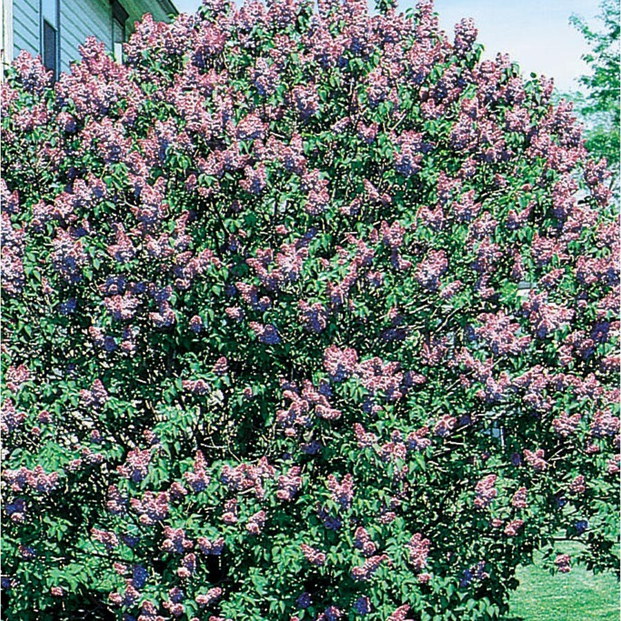 13.66-Gallon Purple Old Fashioned Purple Lilac Flowering Shrub (L7783)