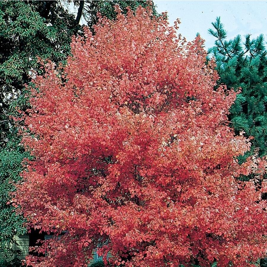 12.7-Gallon Autumn Fantasy Red Maple Shade Tree (L8500)