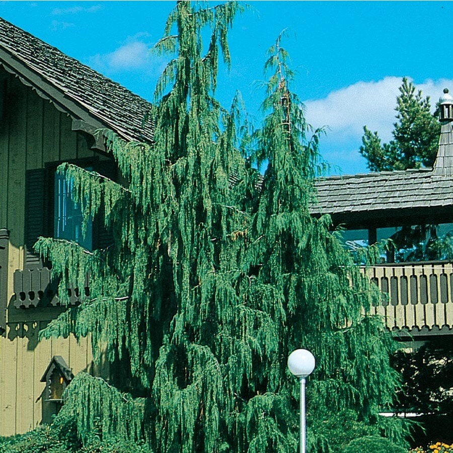 9.16-Gallon Weeping Alaskan Cedar Feature Tree (L14172)