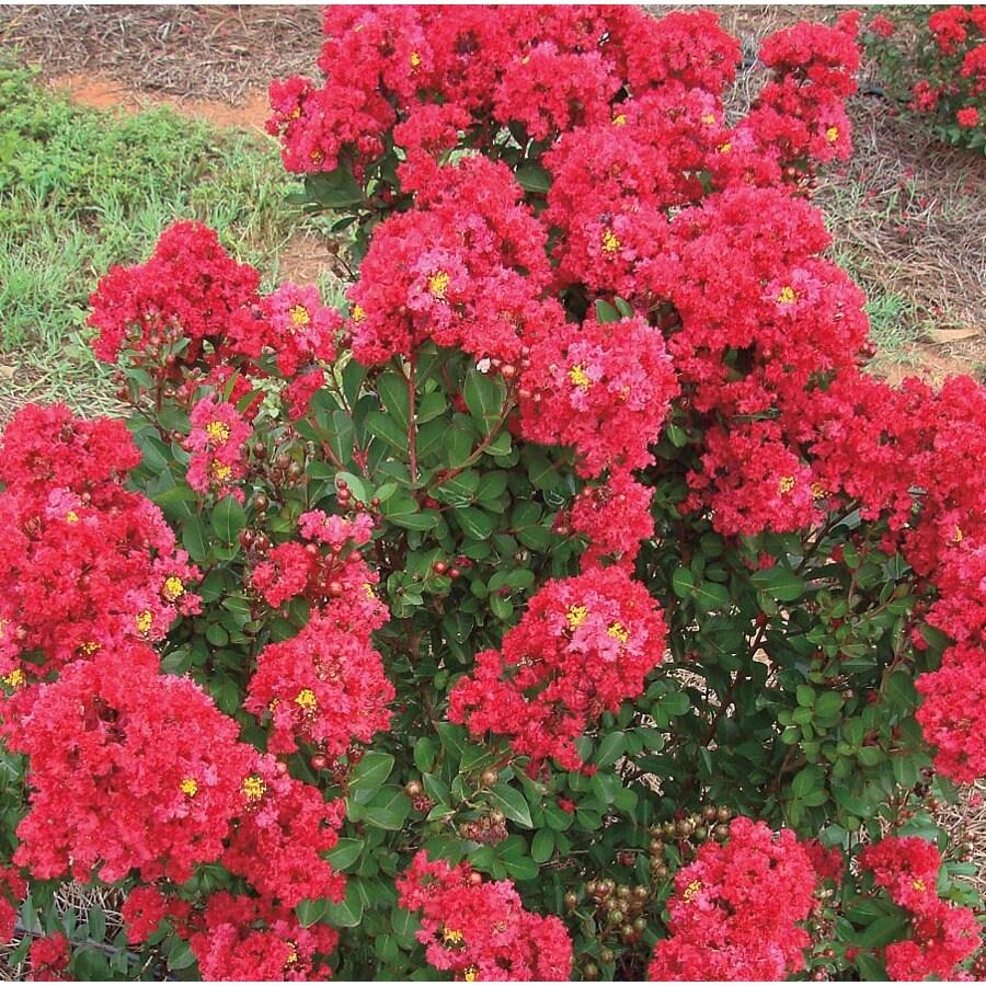 2.25-Gallon Red Enduring Summer Red Crape Myrtle Flowering Shrub (L26196)
