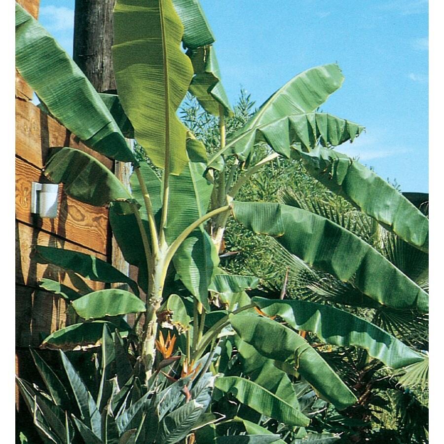 1.5-Gallon Banana Small Fruit (L4349)