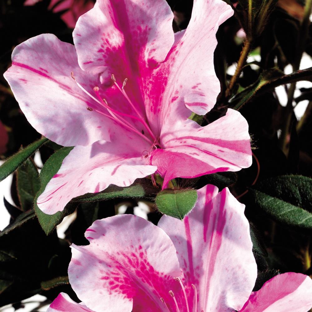 Multicolor Re-Blooming Evergreen Shrub Encore Azalea 1 Gallon Autumn Twist