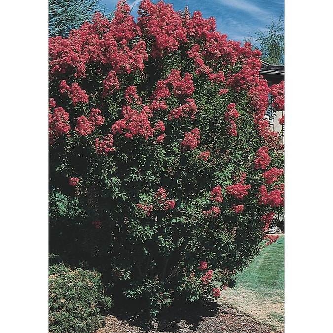 10 25 Gallon Multicolor Crape Myrtle Flowering Tree In Pot L6644 In The Trees Department At Lowes Com