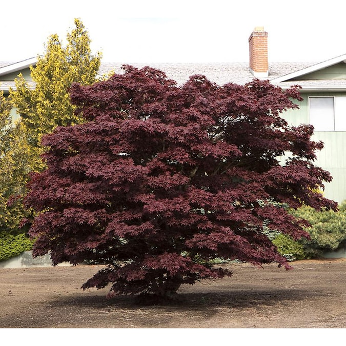 Monrovia 1 6 Gallon Bloodgood Japanese Maple Feature Tree In Pot In The Trees Department At Lowes Com