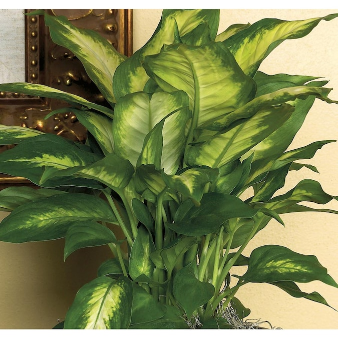 Dieffenbachia L20936hp In The House Plants Department At Lowes Com