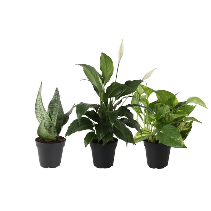 Costa Farms 4 In 3 Pack White Air Cleaning Foliage Plant Mix2 In Plastic Pot Fol4cm2 In The House Plants Department At Lowes Com