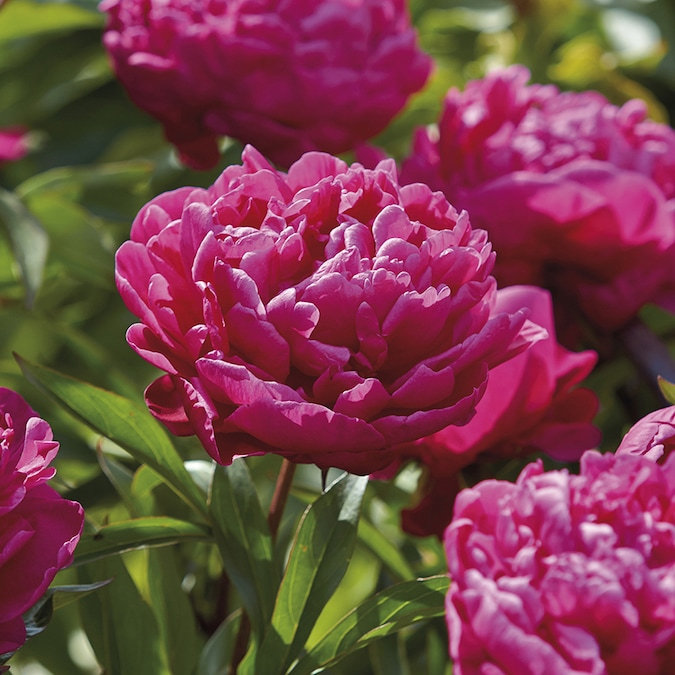 3 Count Peony Bulbs In The Plant Bulbs Department At Lowes Com