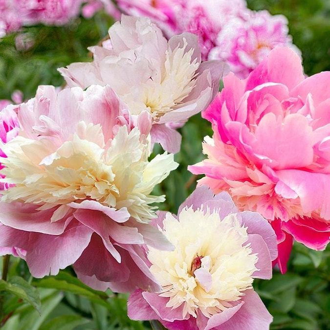 Van Zyverden 6 Count Peonies Bulbs In The Plant Bulbs Department At Lowes Com