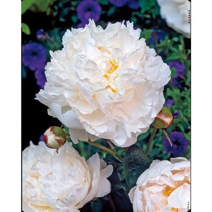 Garden State Bulb 1 Pack Shirley Temple Peony Bulbs L8652 In The Plant Bulbs Department At Lowes Com