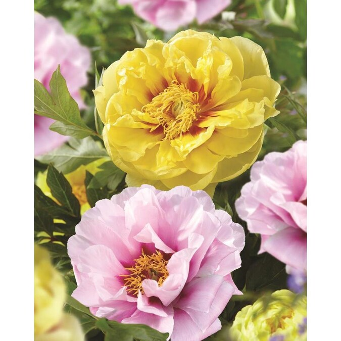 Garden State Bulb 3 Pack Peony Bartzella Canary Brilliant Bulbs L29173 In The Plant Bulbs Department At Lowes Com