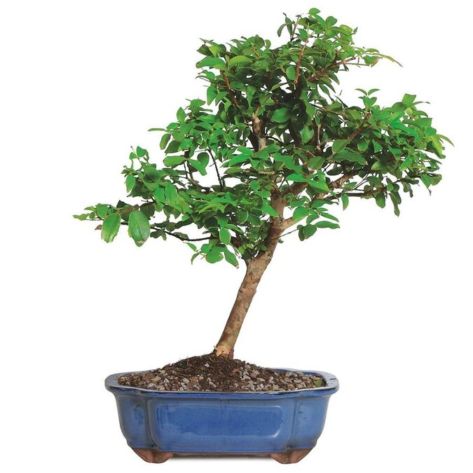 Brussel S Bonsai 10 In Orange Jaboticaba In Clay Planter Dt0414jmc In The House Plants Department At Lowes Com
