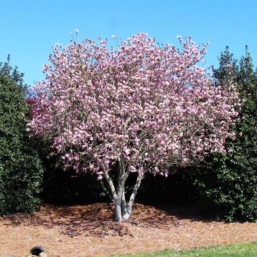 Brighter Blooms 206 Quart Jane Magnolia Tree Flowering Tree Na