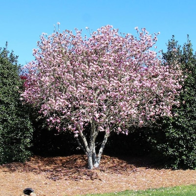 Brighter Blooms 2 06 Quart Jane Magnolia Tree Flowering Tree N A