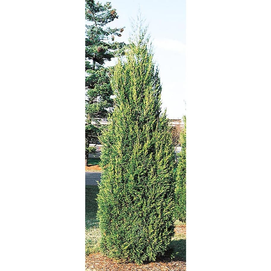 3-Gallon Hetzi Column Juniper Feature Shrub (L8912)