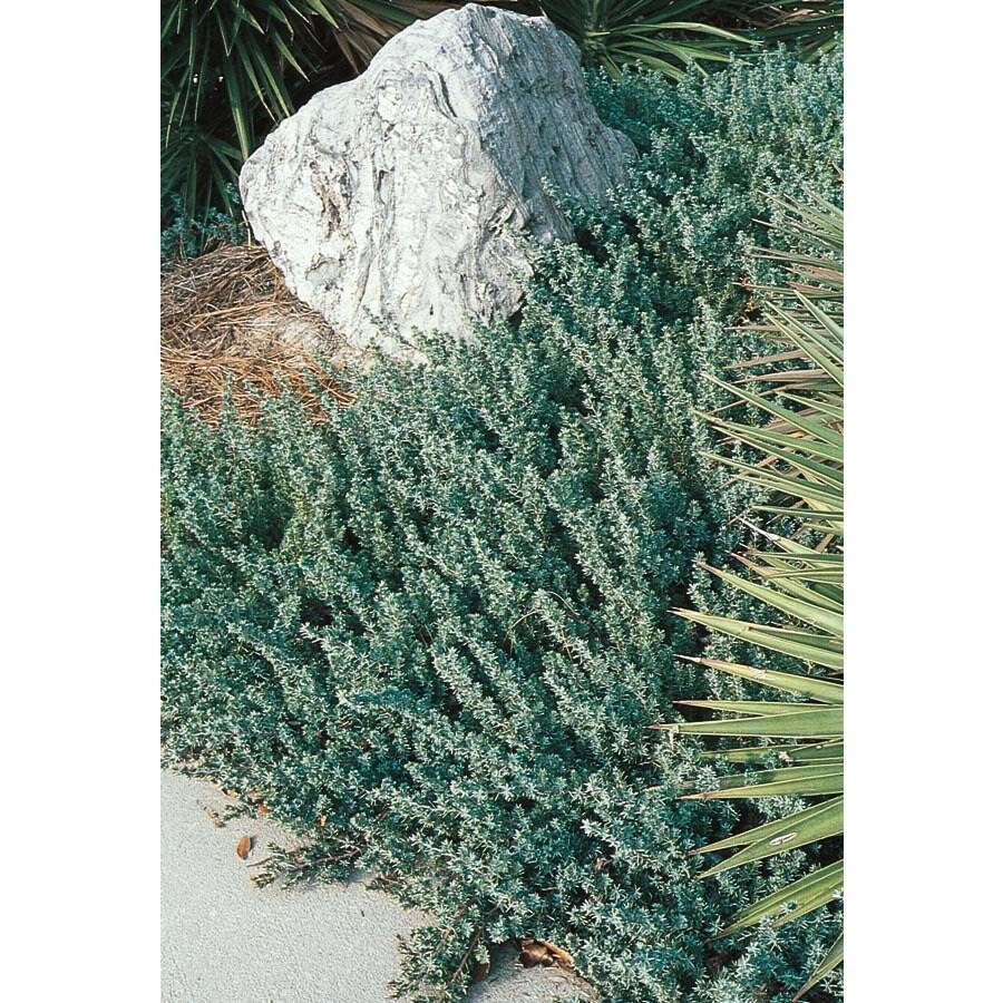 1.5-Gallon Blue Pacific Shore Juniper Accent Shrub (L3261)