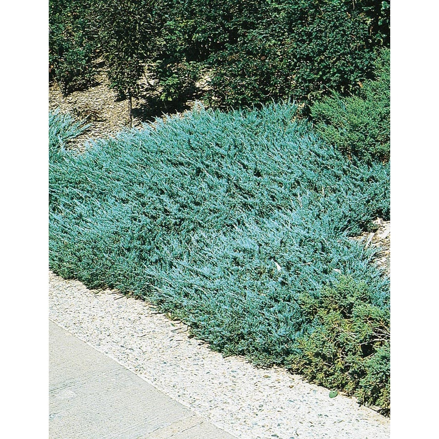 2-Quart Blue Chip Juniper Accent Shrub (L3784)