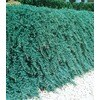 2 Quart Blue Rug Juniper Accent Shrub In Pot L3121 At