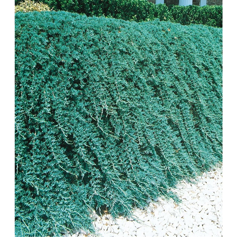 3.25-Gallon Blue Rug Juniper Accent Shrub (L3121)