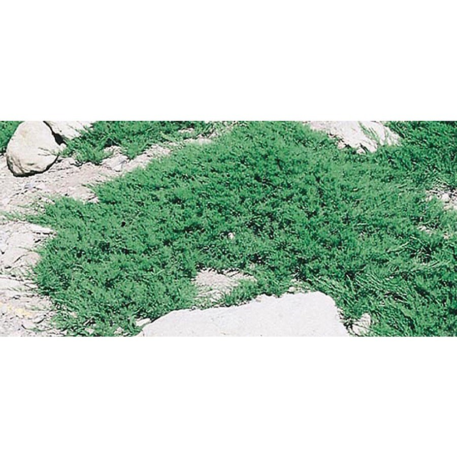 3-Gallon Broadmoor Juniper Accent Shrub (L3932)