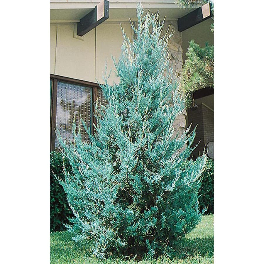3-Gallon Wichita Blue Juniper Feature Shrub (L3789)