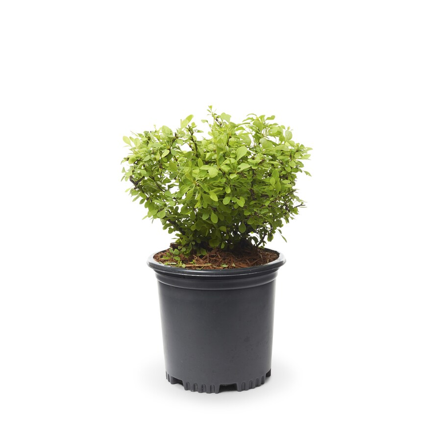 2-Quart White Golden Barberry Accent Shrub (L4184)