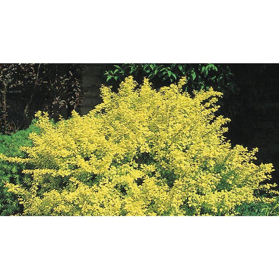 1-Gallon White Golden Barberry Accent Shrub (L4184)