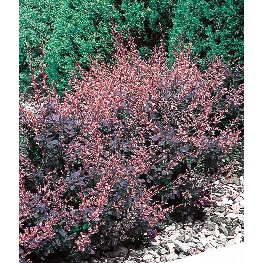 2-Quart White Rose Glow Barberry Accent Shrub (L3442)