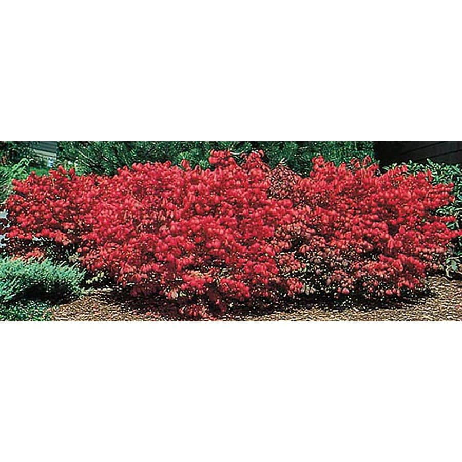 1-Gallon White Dwarf Burning Bush Foundation/Hedge Shrub (L1009)