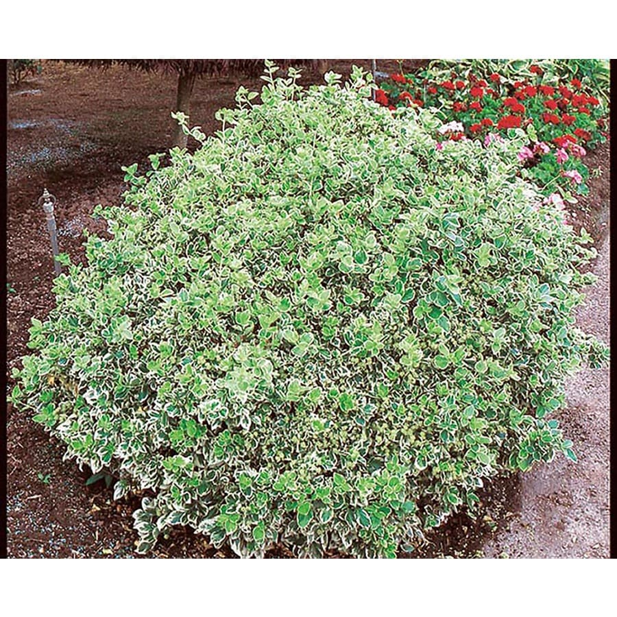2.25-Gallon Emerald Gaiety Euonymus Accent Shrub (L3487)