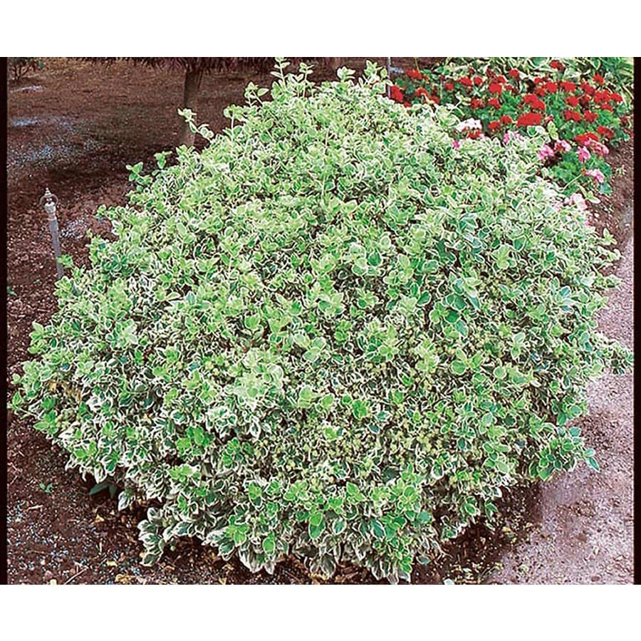 3-Gallon White Emerald Gaiety Euonymus Accent Shrub (L3487)